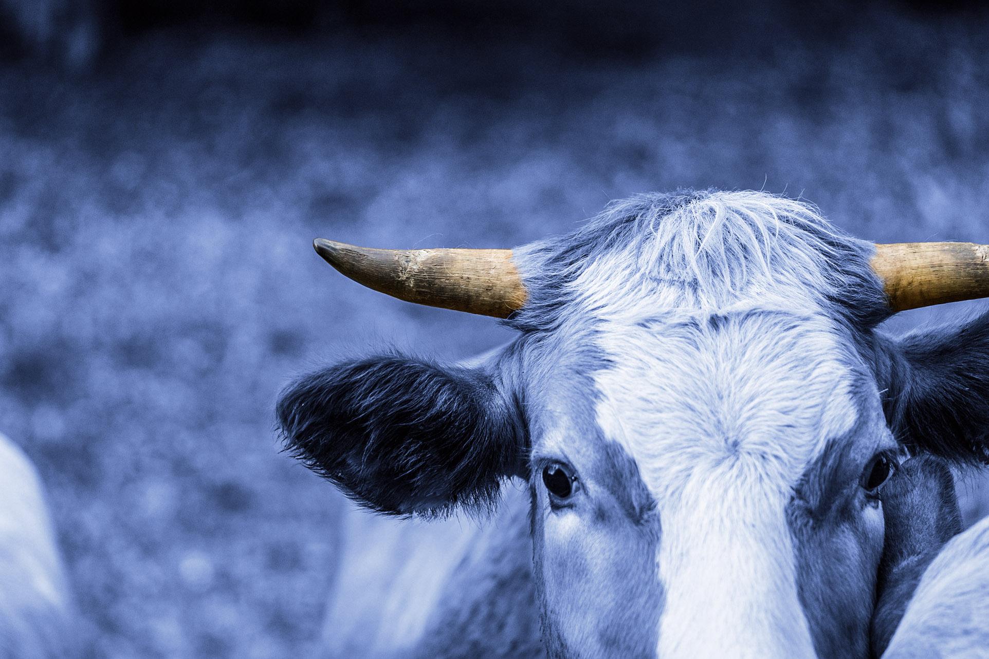 gehörnte Milchkuh bei Nordfrische Bauernmilch