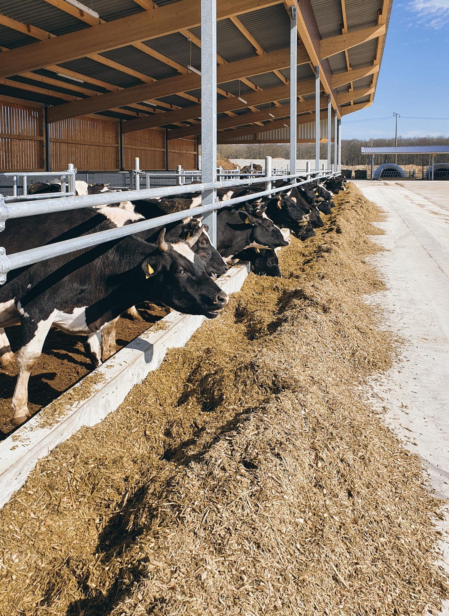 Milchkühe der Rasse Deutsch Schwarzbuntes Niederungsrind auf Luisenhof Wiebendorf